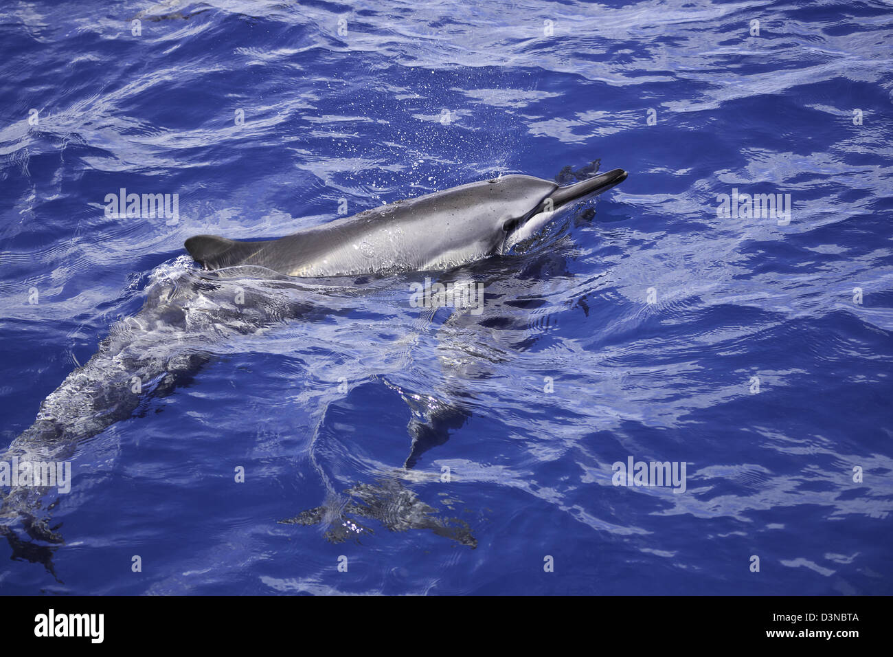 A spinner dolphin, Stenella longirostris, surfaces for a breath off the island of Maui, Hawaii. - Stock Image