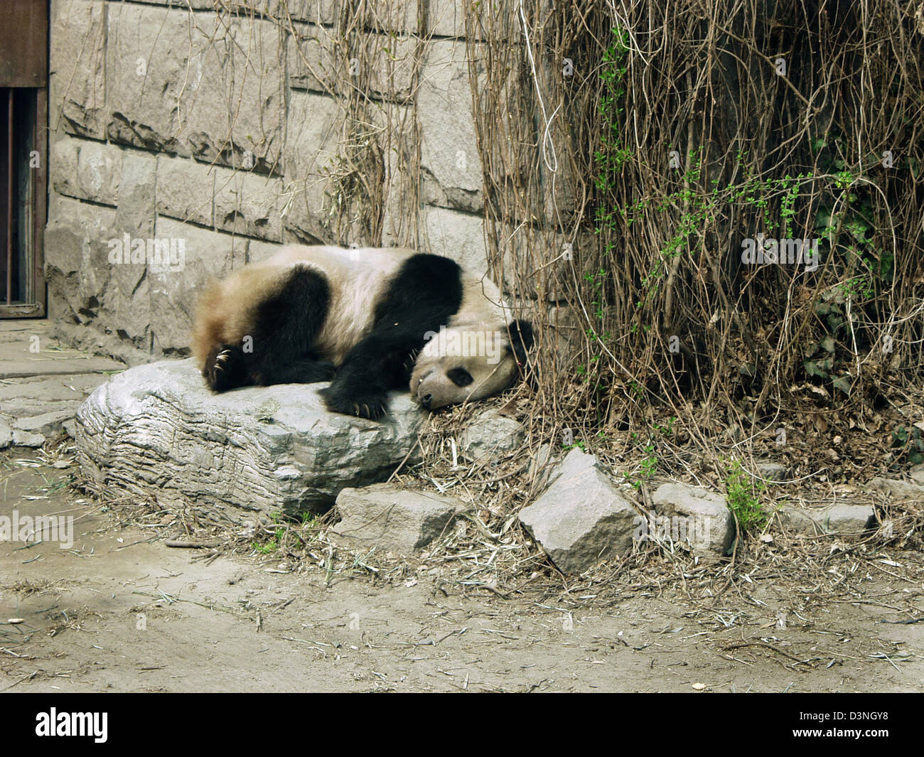 The picture shows a Giant Panda sleeping in the zoo in Beijing, China, 2006. The zoo is the oldest and biggest in - Stock Image