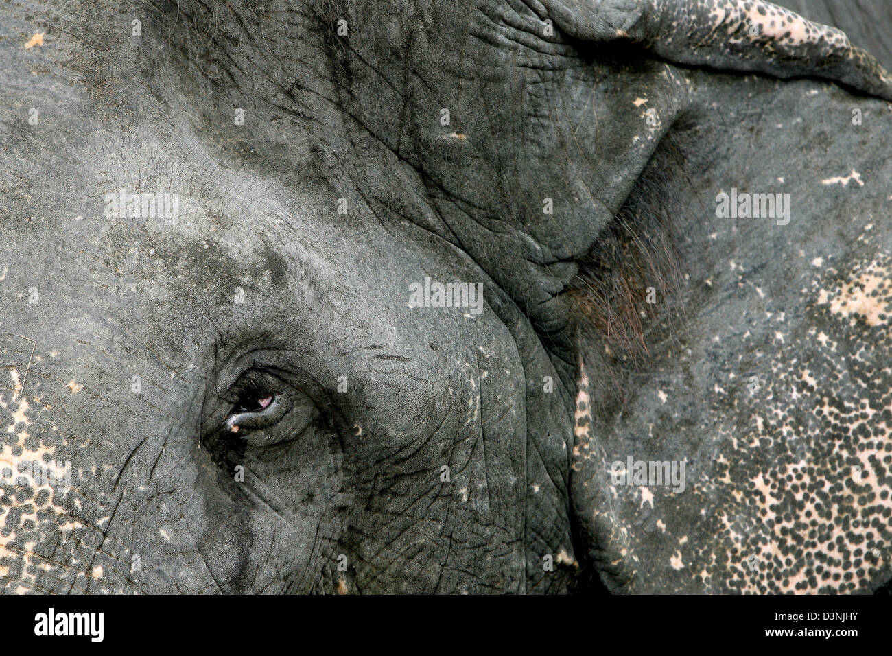 Close up shot of an Asian Elephant (lat.: Elephas Maximus), photographed in Pinnawela on Sri Lanka, 24 April 2006. - Stock Image
