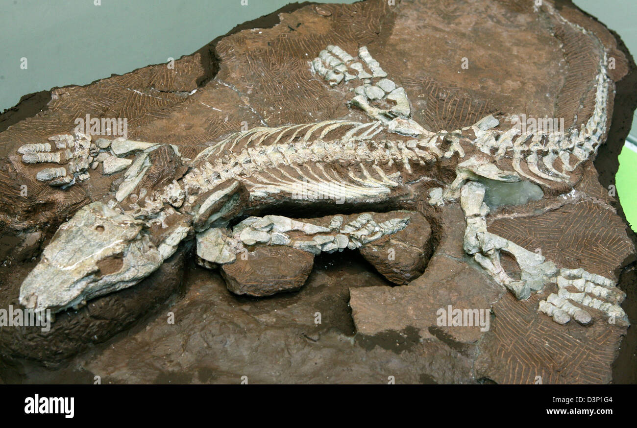 The primed dinosaur fossil (Orobates pabsti) photographed during a press conference at the nature museum in Gotha, - Stock Image