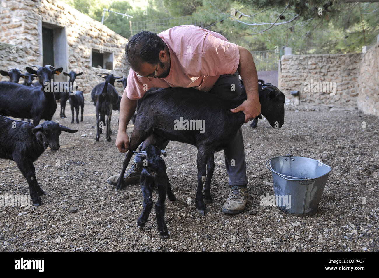 A goat breeder checking over a female black goat as the young kid takes milk from it's mother at his farm in - Stock Image