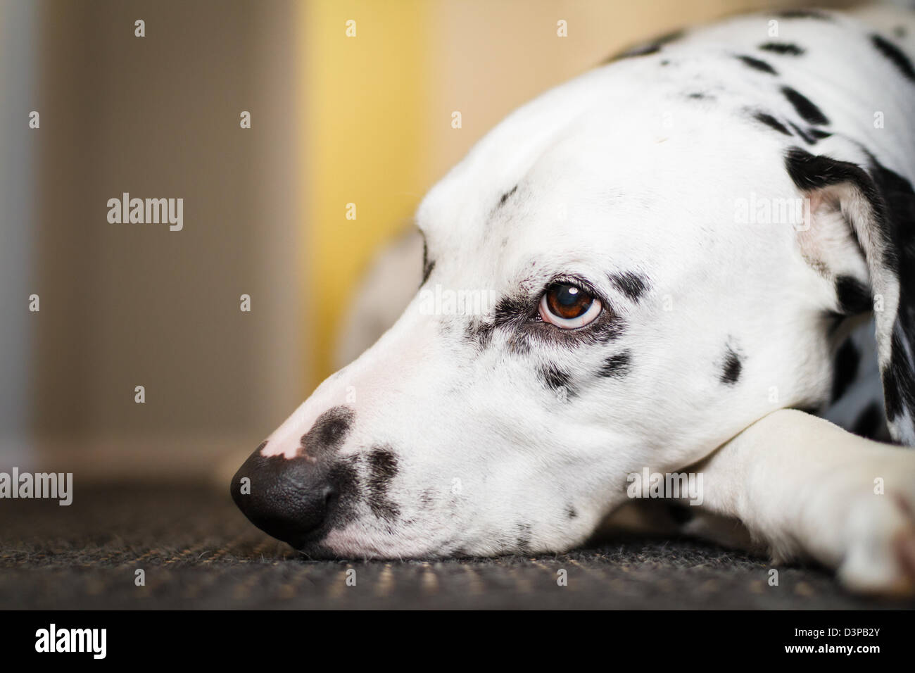 Bored Dalmatian dreaming and resting on the floor - Stock Image