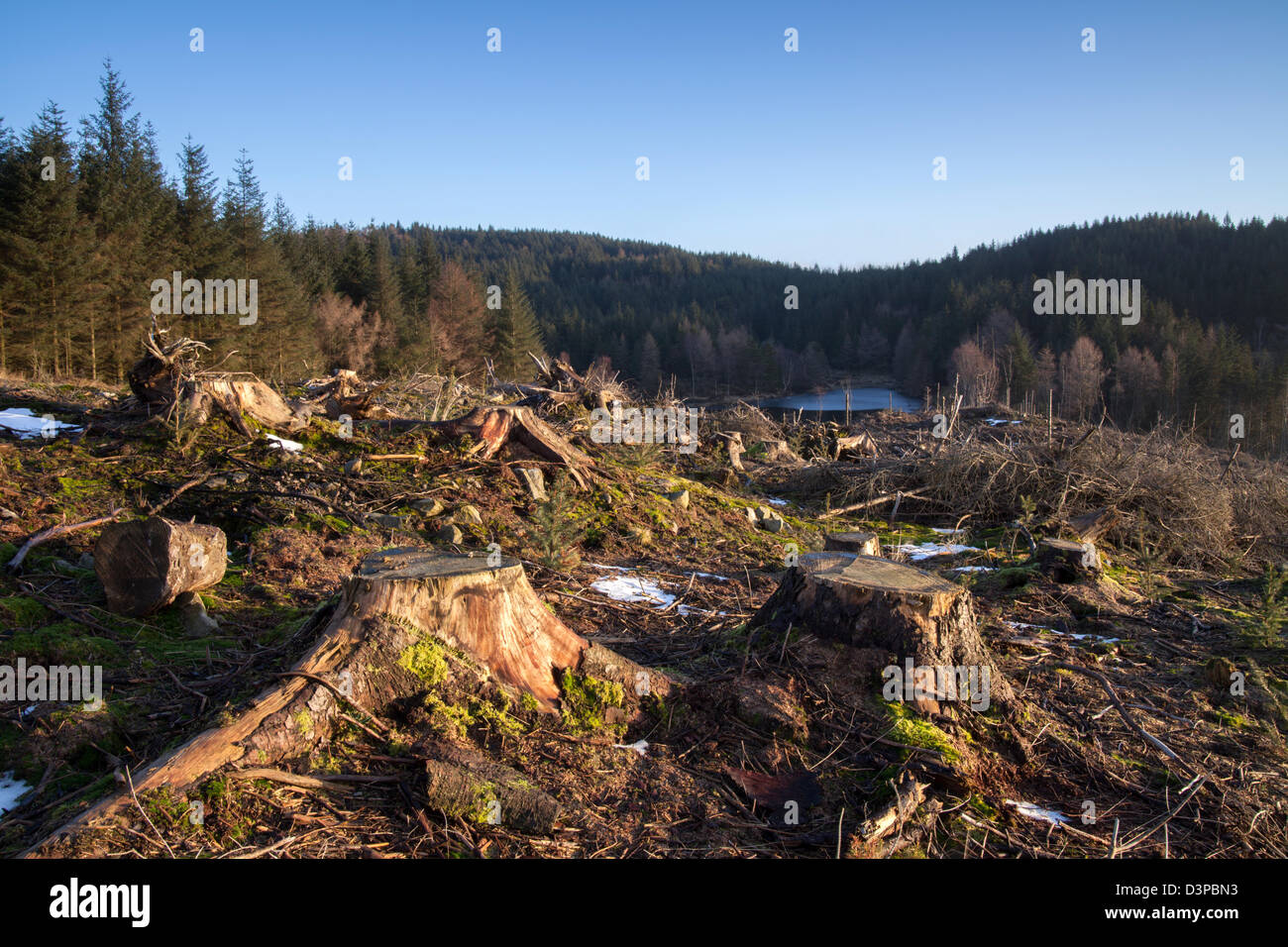 Gummers How forestry operations, coniferous tree felling in the English Lake District UK. - Stock Image