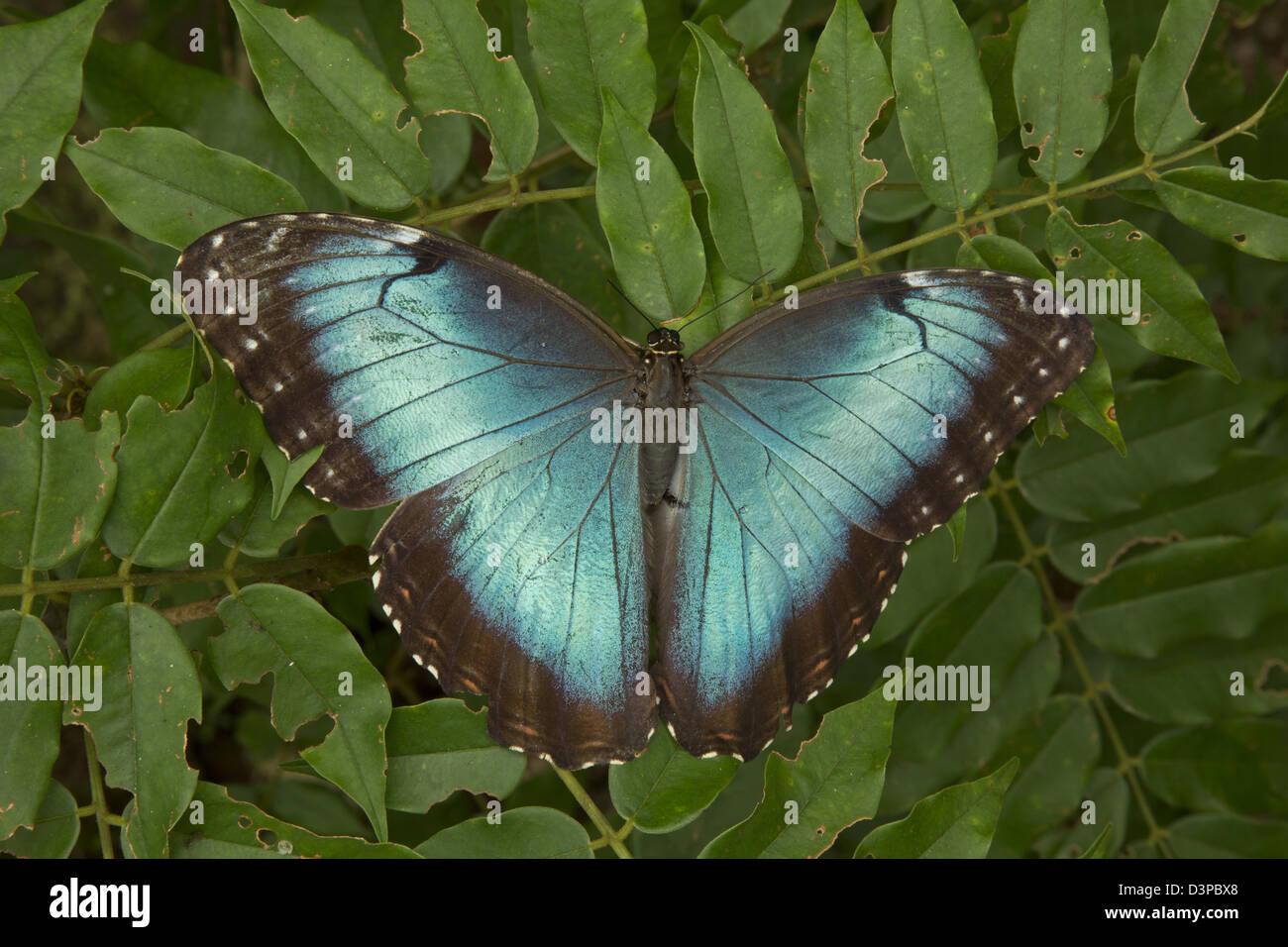Blue Morpho (Morpho peleides) , tropical rainforest, Costa Rica, adult, sequence(22of23) - Stock Image