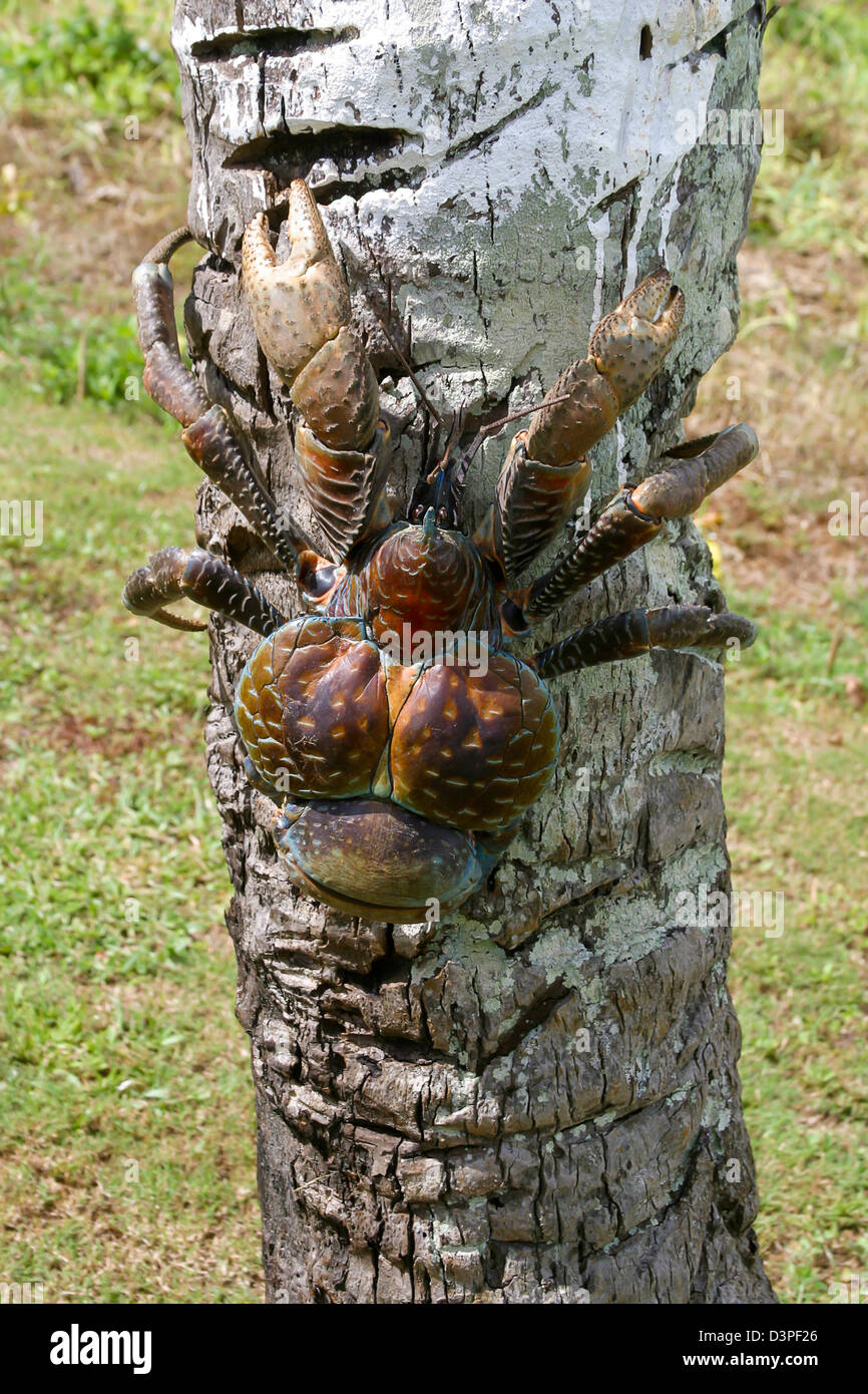 Coconut crab, Birgus latro, largest of the hermit crab family reaching as much as six pounds, Aitutaki, The Cook - Stock Image