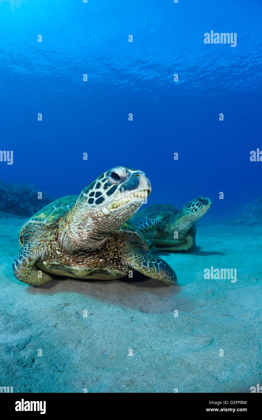 A pair of green sea turtles, Chelonia mydas, an endangered species, rest on a sandy bottom off West Maui, Hawaii. - Stock Image