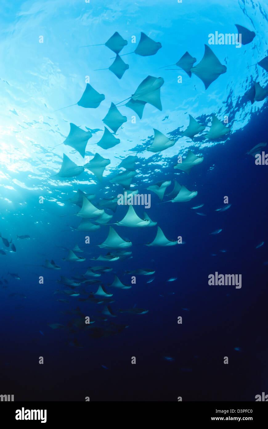 Cownose rays, Rhinoptera steindachneri, Galapagos Islands, Equador. - Stock Image