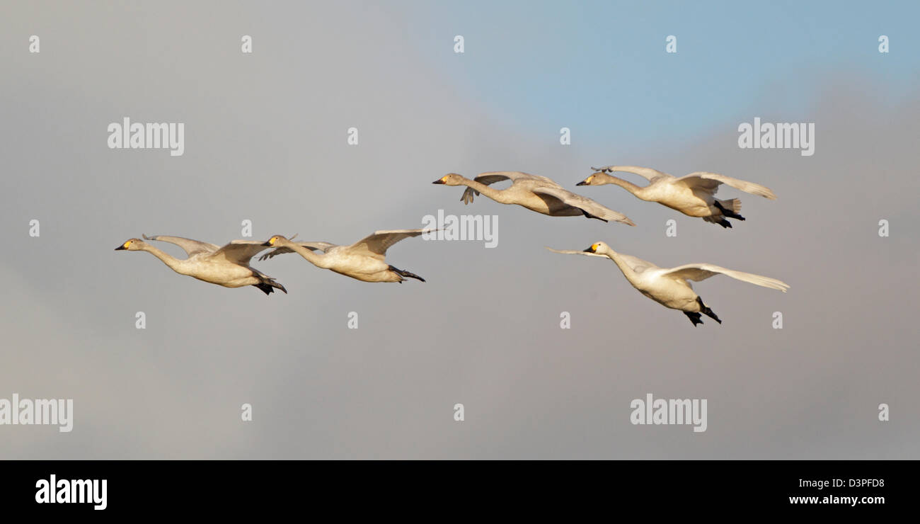 Group of Bewick's swans in flight Stock Photo