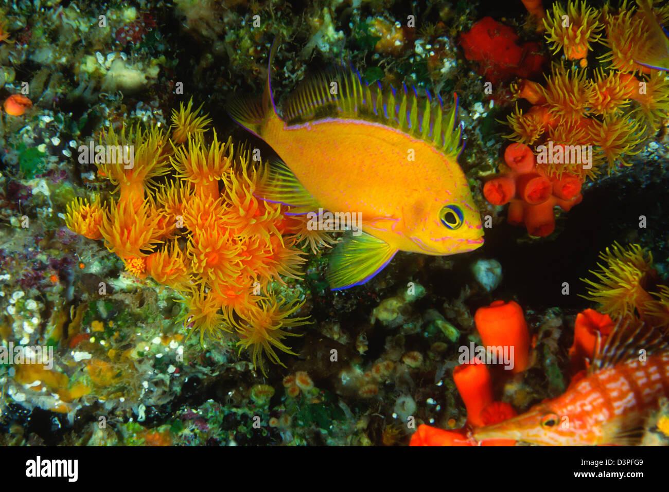Deepwater anthias (endemic) Odontanthias fuscipinnis, Hawaii. - Stock Image