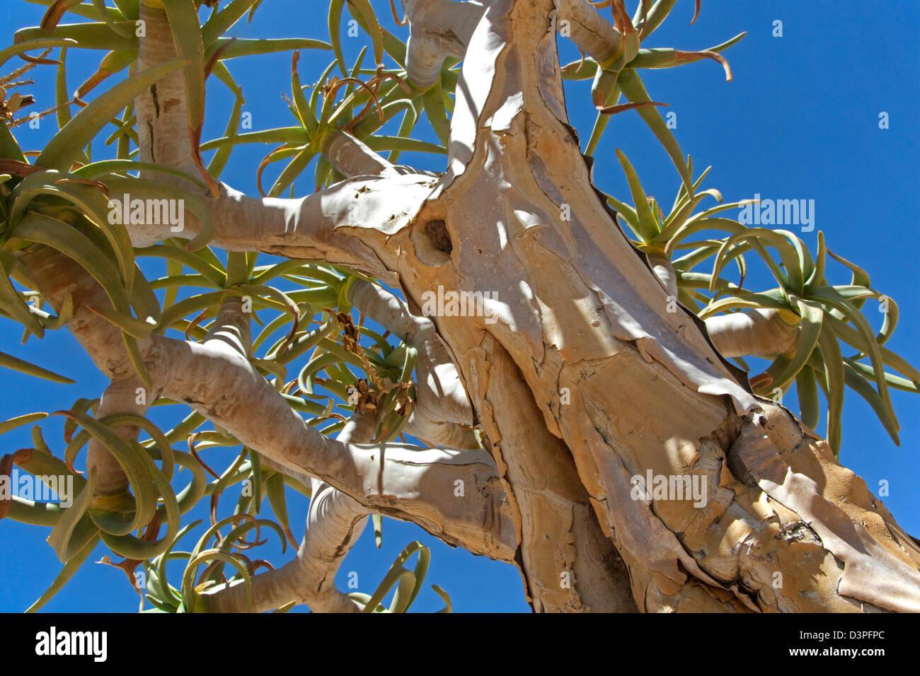 Quiver tree / Kokerboom (Aloe dichotoma) at Fish river Canyon, Namibia, South Africa - Stock Image