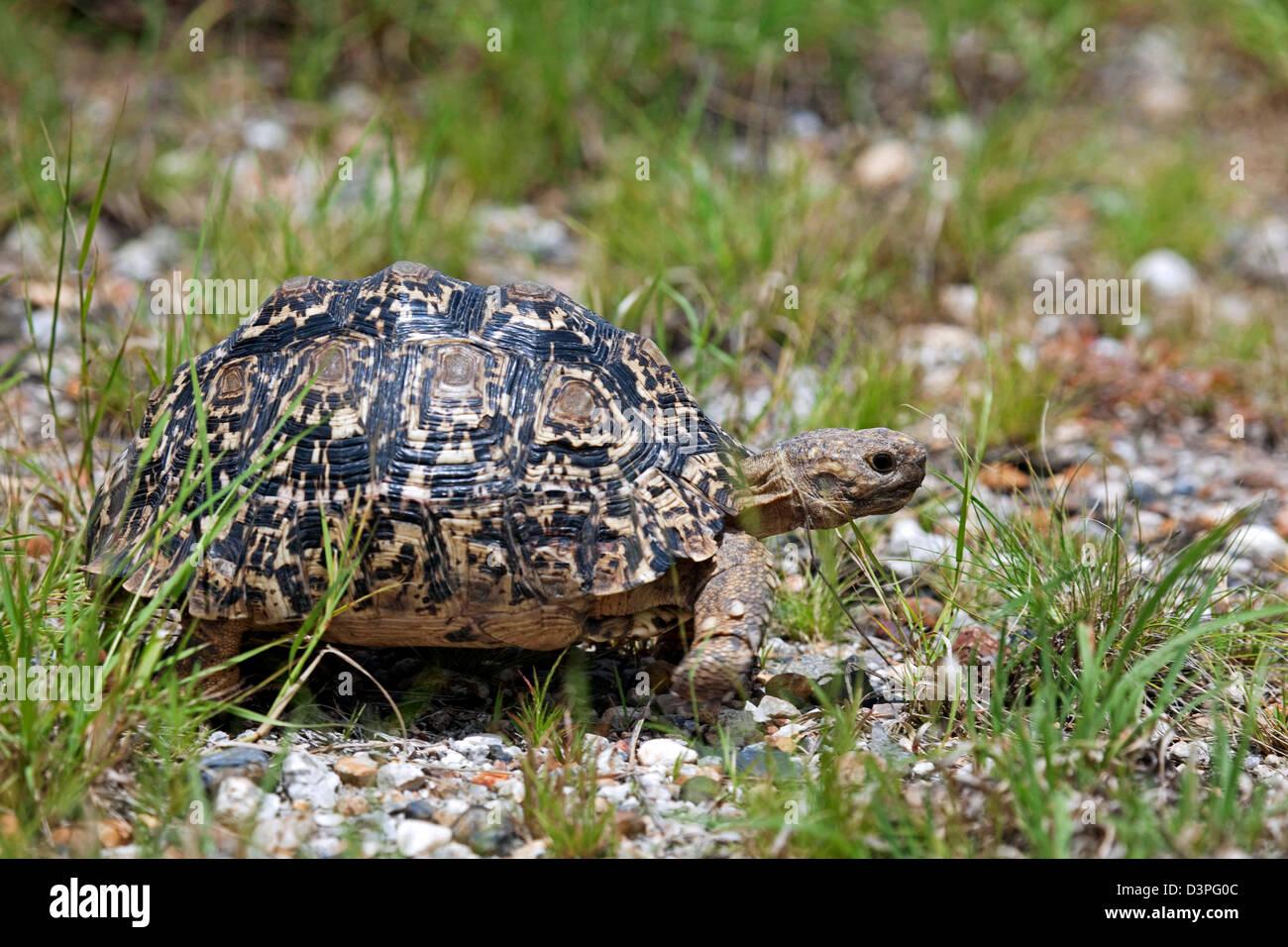 Leopard tortoise (Stigmochelys pardalis) in the Etosha National Park, Namibia, South Africa - Stock Image