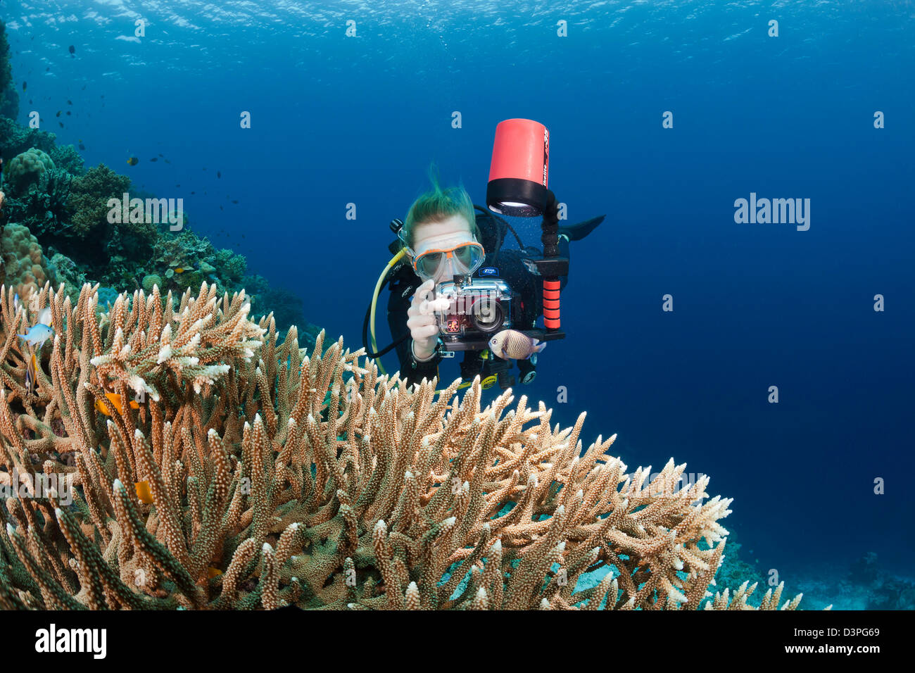 A diver (MR) lines up her camera on a damselfish near a large colony of antler coral, Wakatobi, Indonesia. - Stock Image