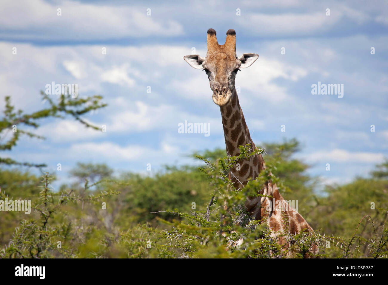Close-up of curious Giraffe (Giraffa camelopardalis) looking over thornbush in the Etosha National Park, Namibia, - Stock Image