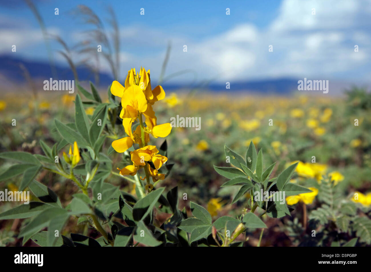 Yellow flowers blooming in the Sossusvlei, Namib Desert, Namib-Naukluft National Park, Namibia, South Africa - Stock Image