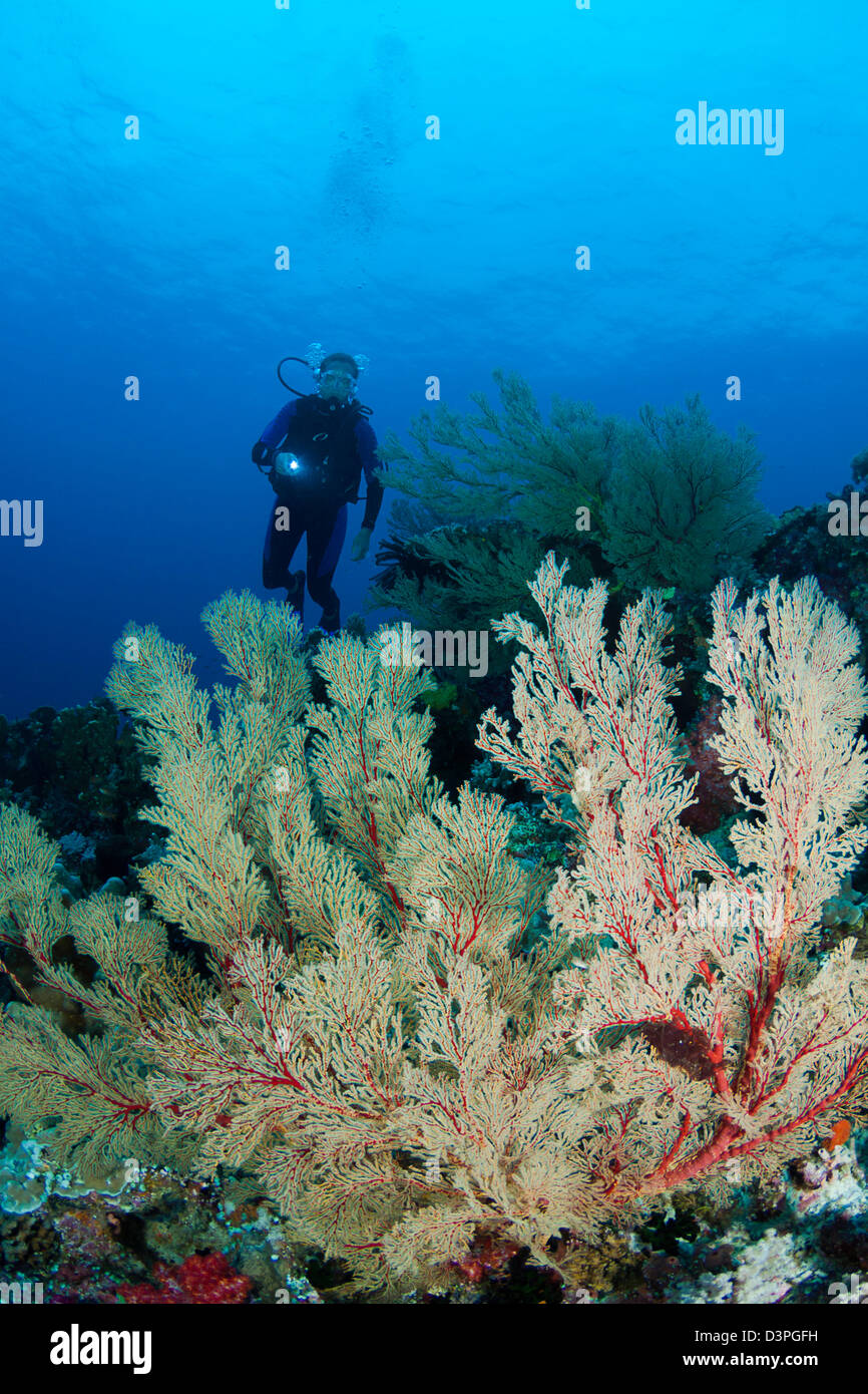 Diver (MR) with gorgonian coral fans, Tubbataha Reef, Philippines. - Stock Image