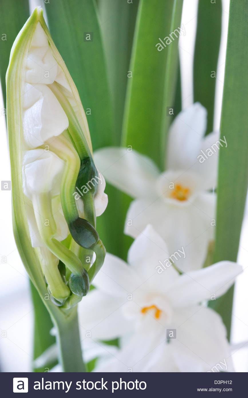 Paper white narcissus stock photos paper white narcissus stock narcissus papyraceus paper white daffodil paper white narcissus emerging flower mightylinksfo