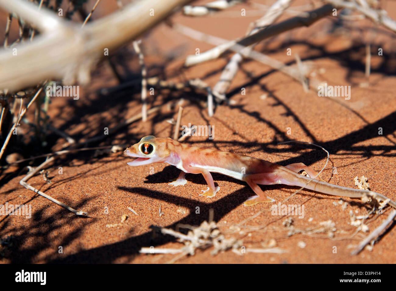 Namib sand gecko / web-footed gecko (Pachydactylus rangei) in the Namib desert, Sossusvlei, Namibia, South Africa Stock Photo