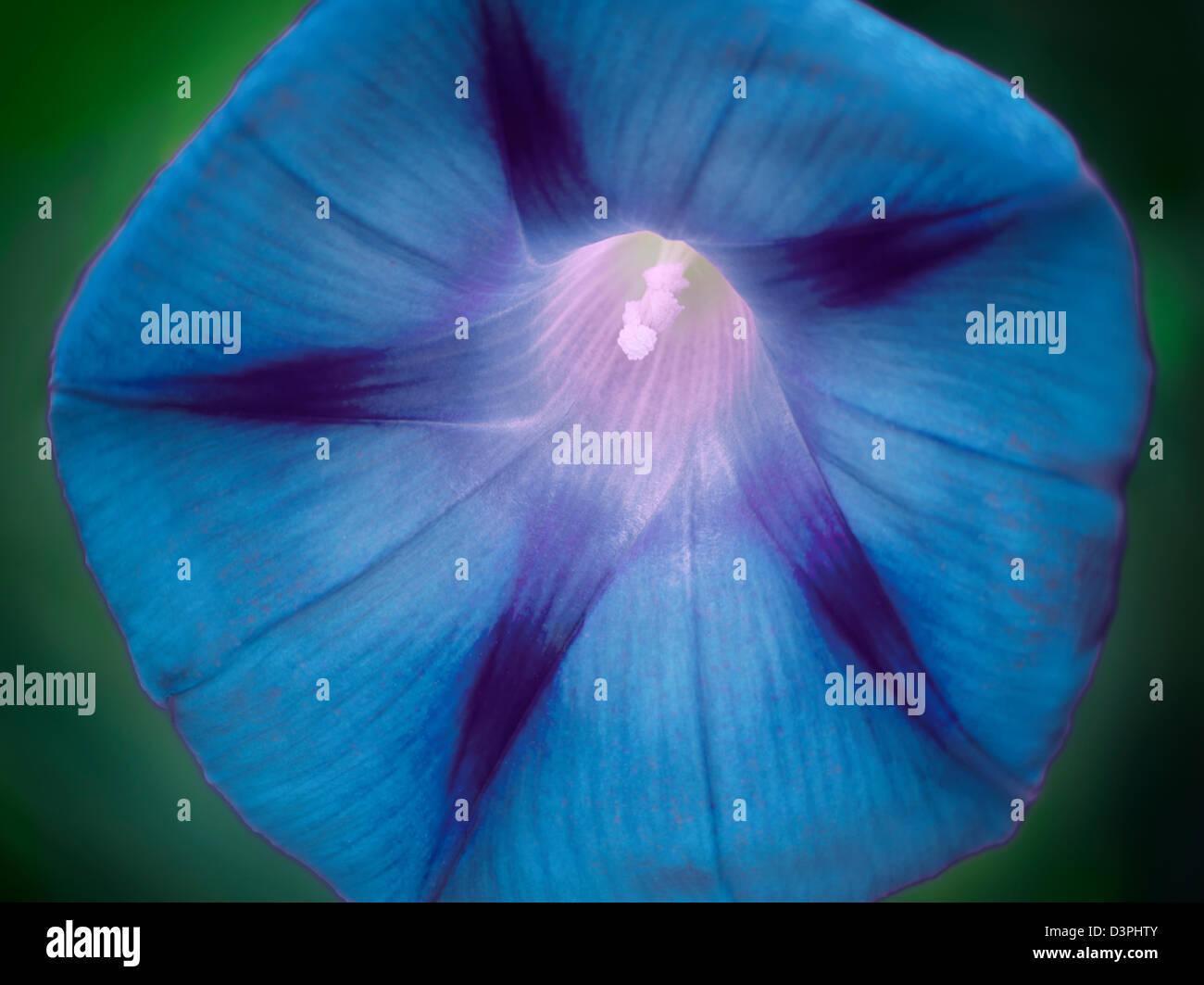 Morning Glory flower. Oregon - Stock Image