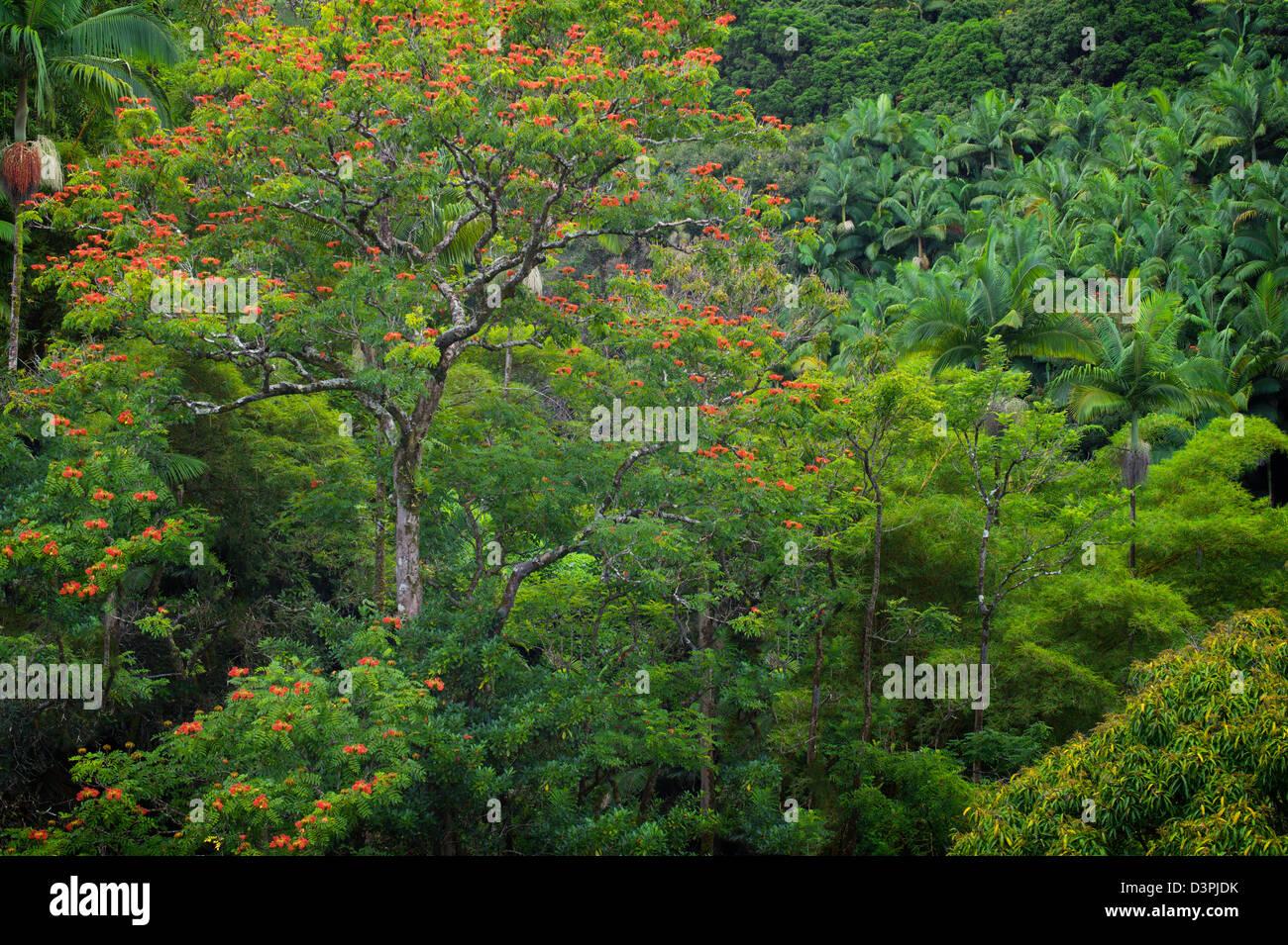 Rainforest with African Tulip Tree in bloom. Hanaunau Coast. Hawaii, The Big Island. - Stock Image