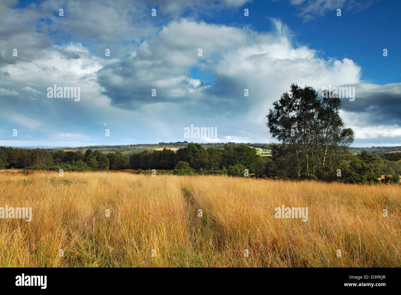 Marram Grass, Ashdown Forest, East Sussex - Stock Image