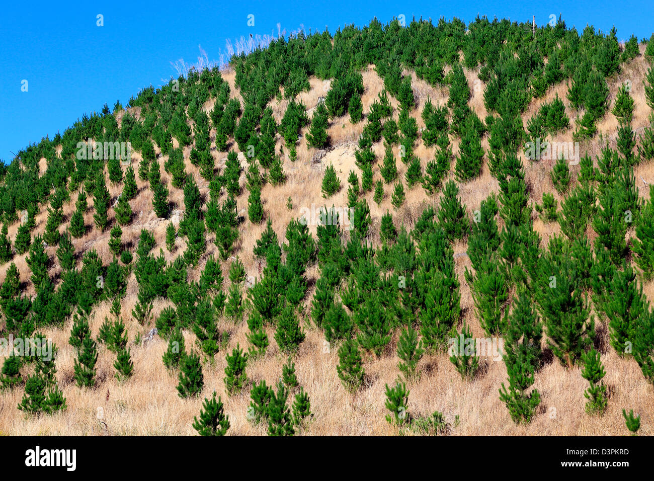 Young pine trees growing in forestry block - Stock Image