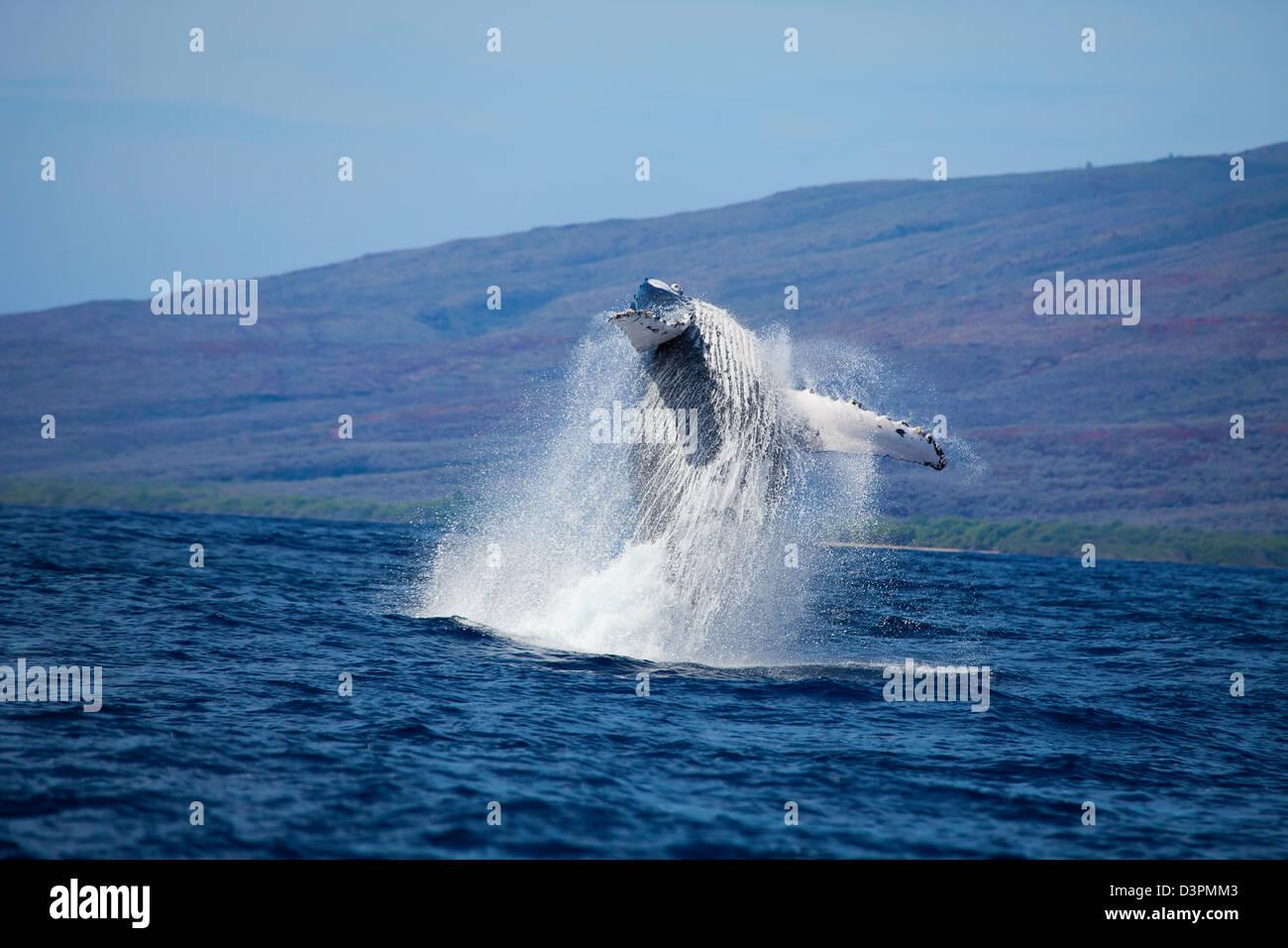 Breaching humpback whale, Megaptera novaeangliae, Hawaii. - Stock Image