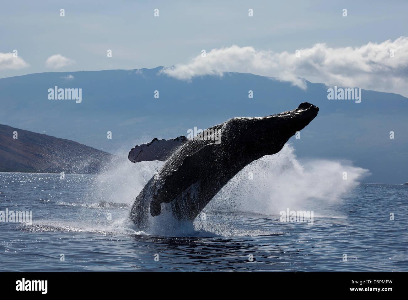 Breaching humpback whale, Megaptera novaeangliae, with Haleakala in the background, Maui, Hawaii. - Stock Image