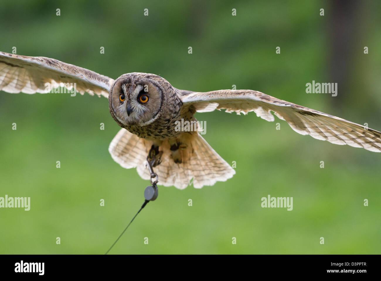 Long-eared owl (Asio otus) flying - Stock Image