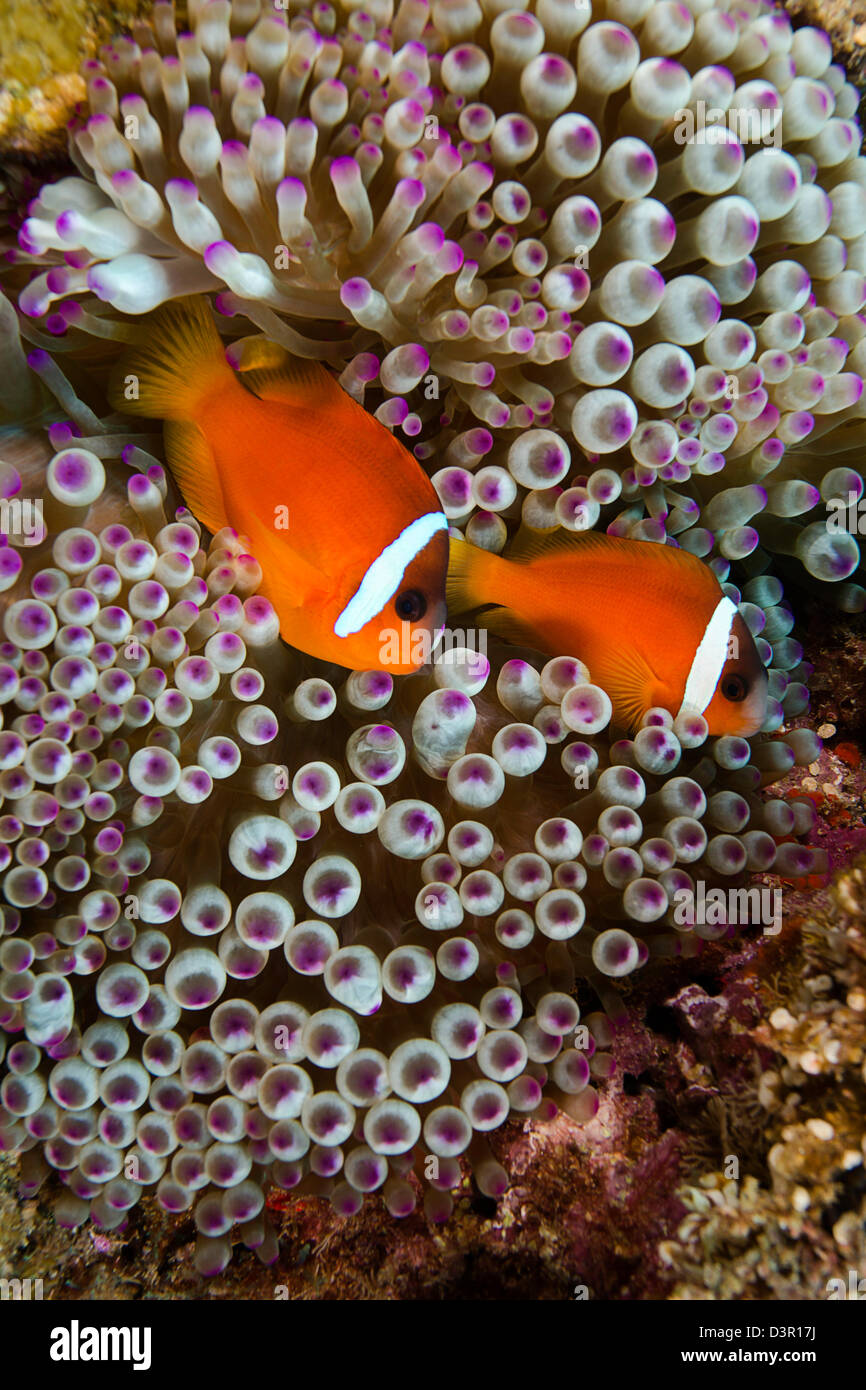 Endemic Fiji clownfish, Amphiprion barberi. - Stock Image