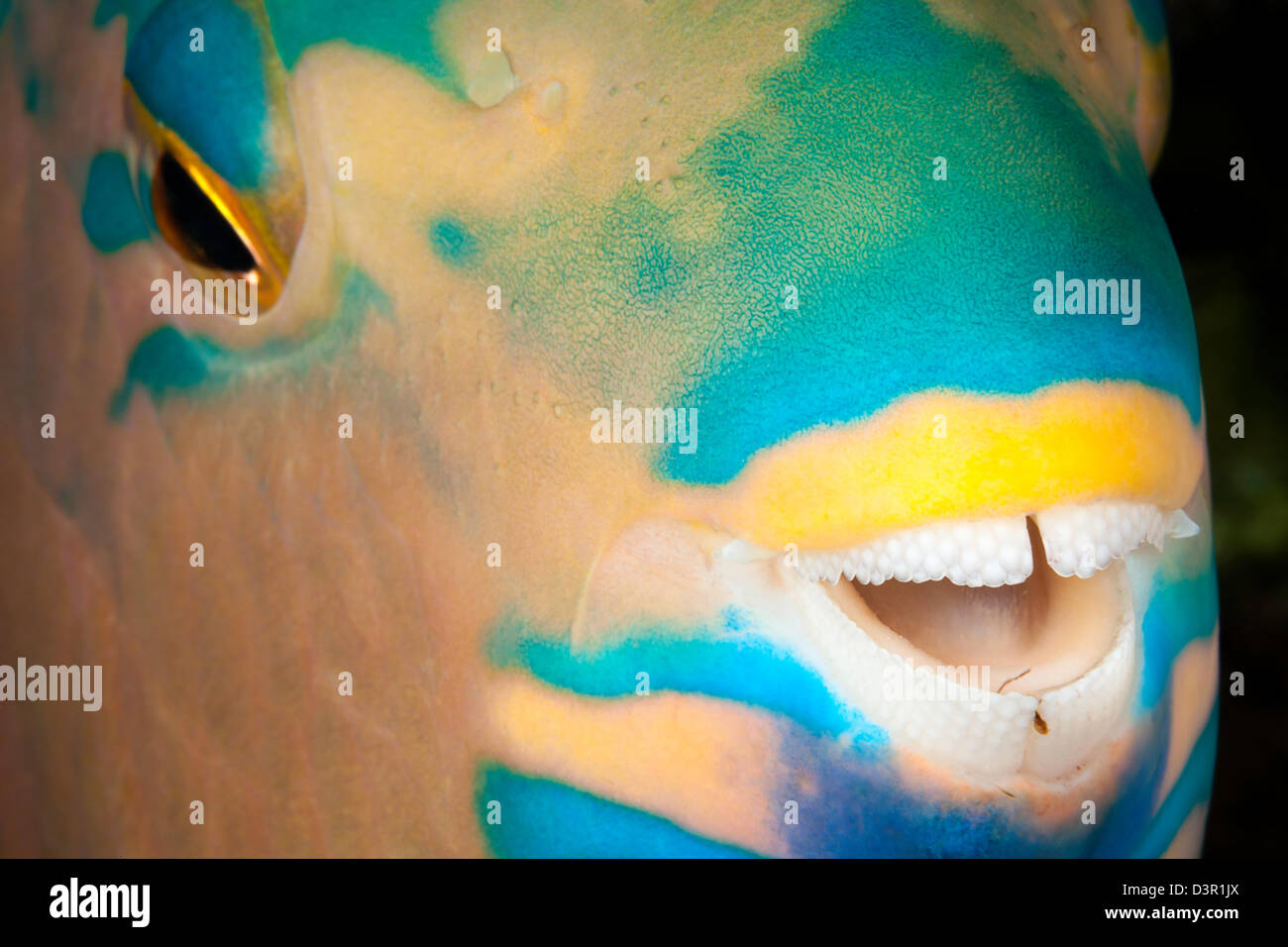 A close look at night of the dental plates of a three color parrotfish, Scarus tricolor, Fiji. - Stock Image