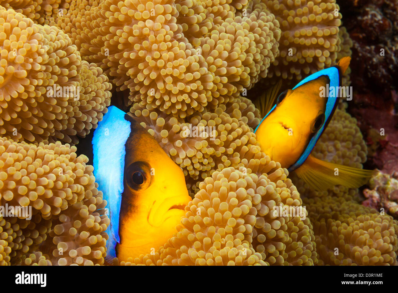 These two orange-fin anemonefish, Amphiprion chrysopterus, are pictured hiding in their host anemone, Fiji. - Stock Image