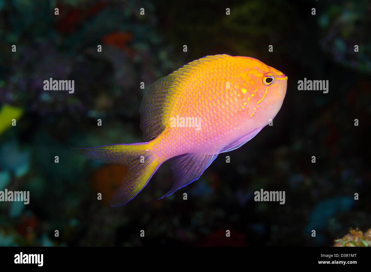 The hawkfish anthias, Serranocirrhitus latus, is a more solitary member of this family, Fiji. - Stock Image