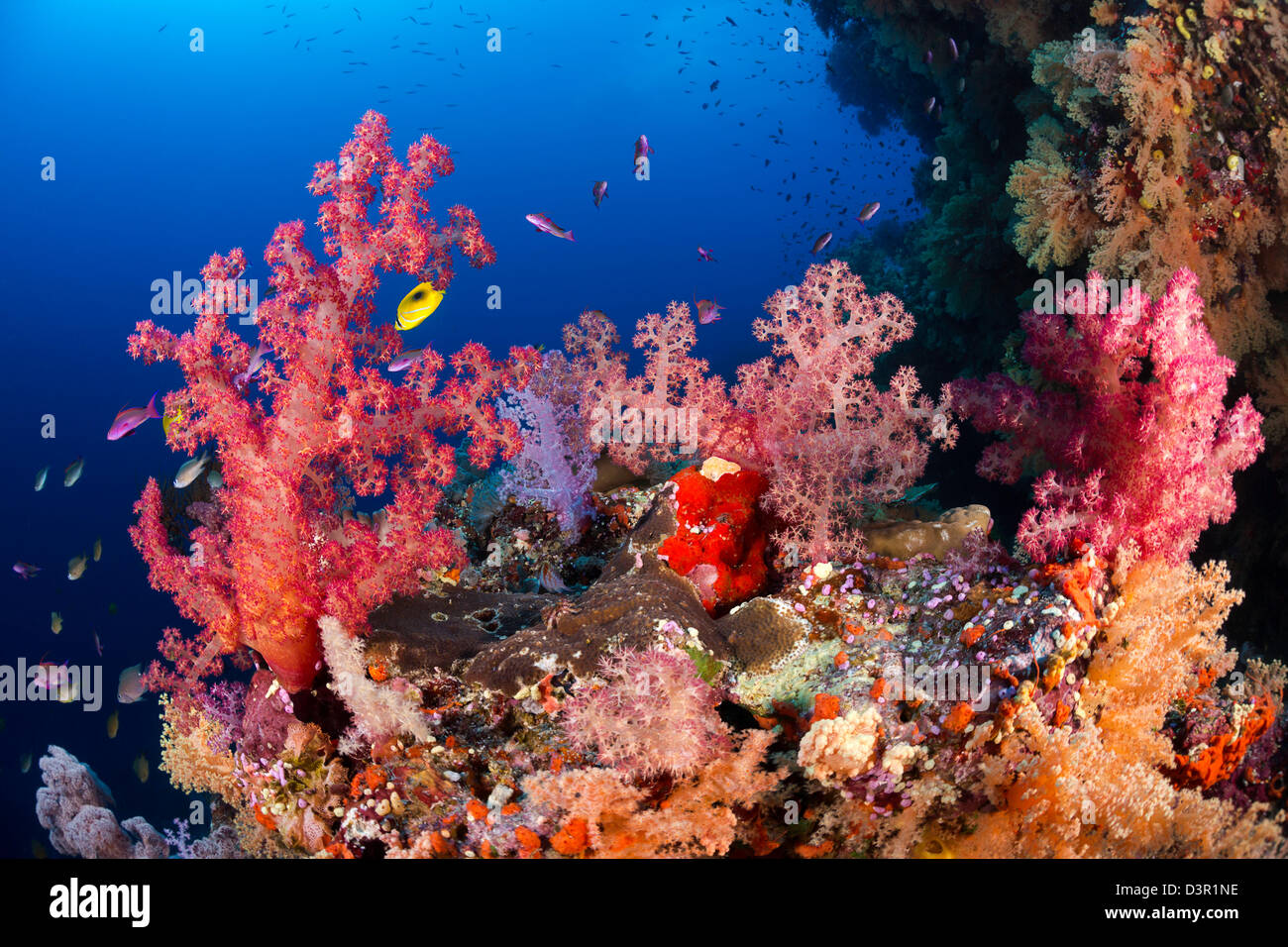 Coral Reef Fish Fiji Stock Photos & Coral Reef Fish Fiji Stock ...