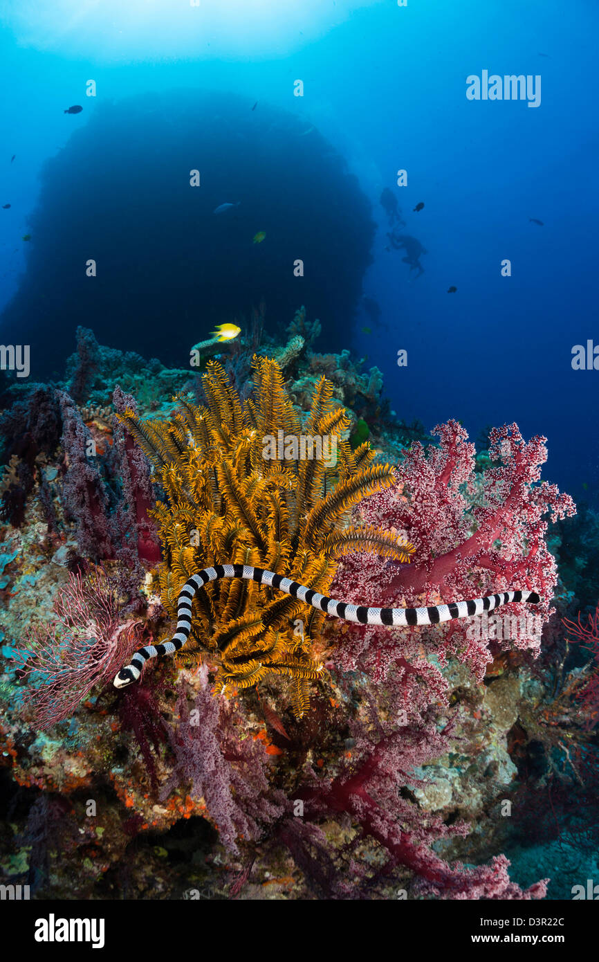 The banded Sea Krait or Yellow-lipped Sea Krait, Laticauda colubrina, is a common venoumous sea snake found in Fiji. - Stock Image