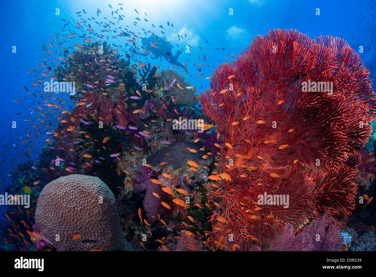 A diver with alconarian and gorgonian coral with schooling anthias dominate this Fijian reef scene. - Stock Image