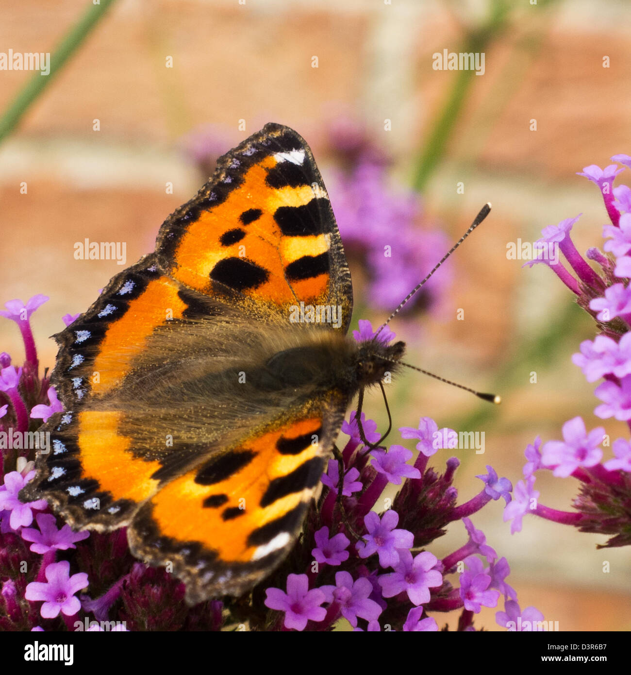 A small tortoiseshell butterfly on pink buddleia in an English garden - Stock Image
