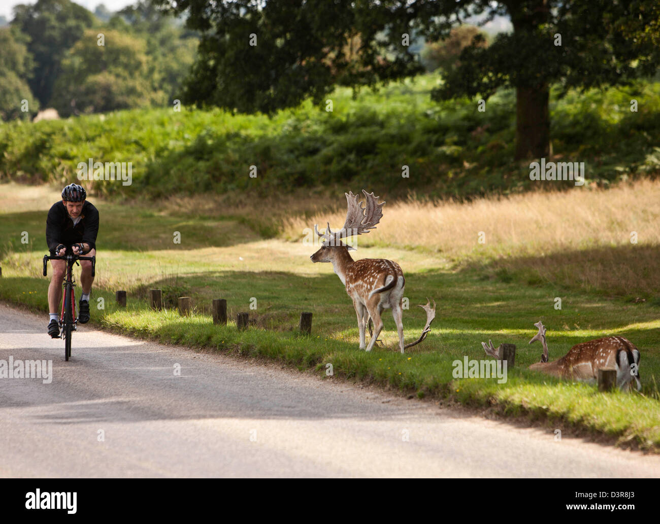 Cyclist in Richmond Park with deer, London, England, UK - Stock Image