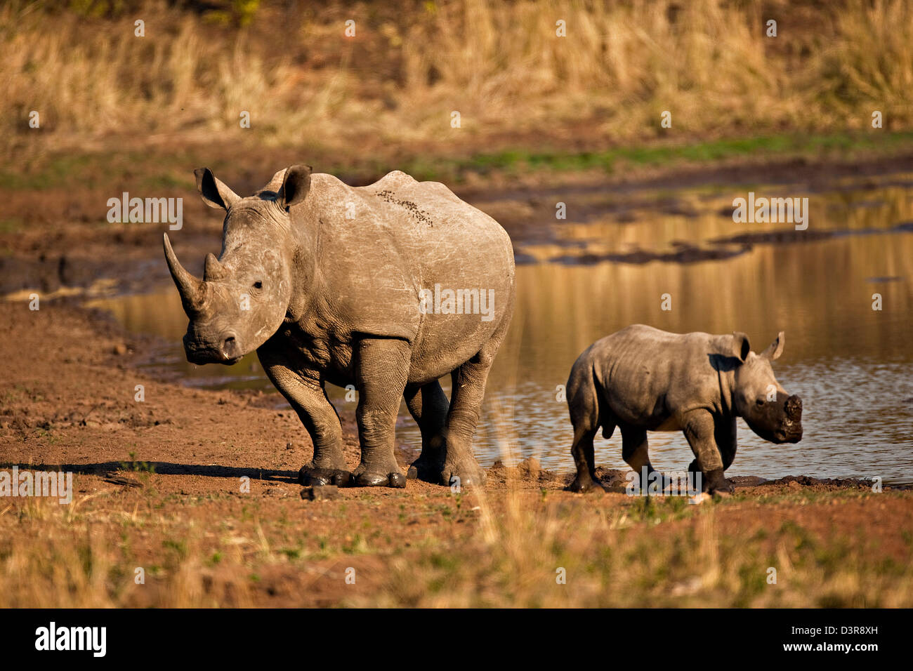 White Rhino with young at watering hole in the Phinda Game Reserve, South Africa - Stock Image