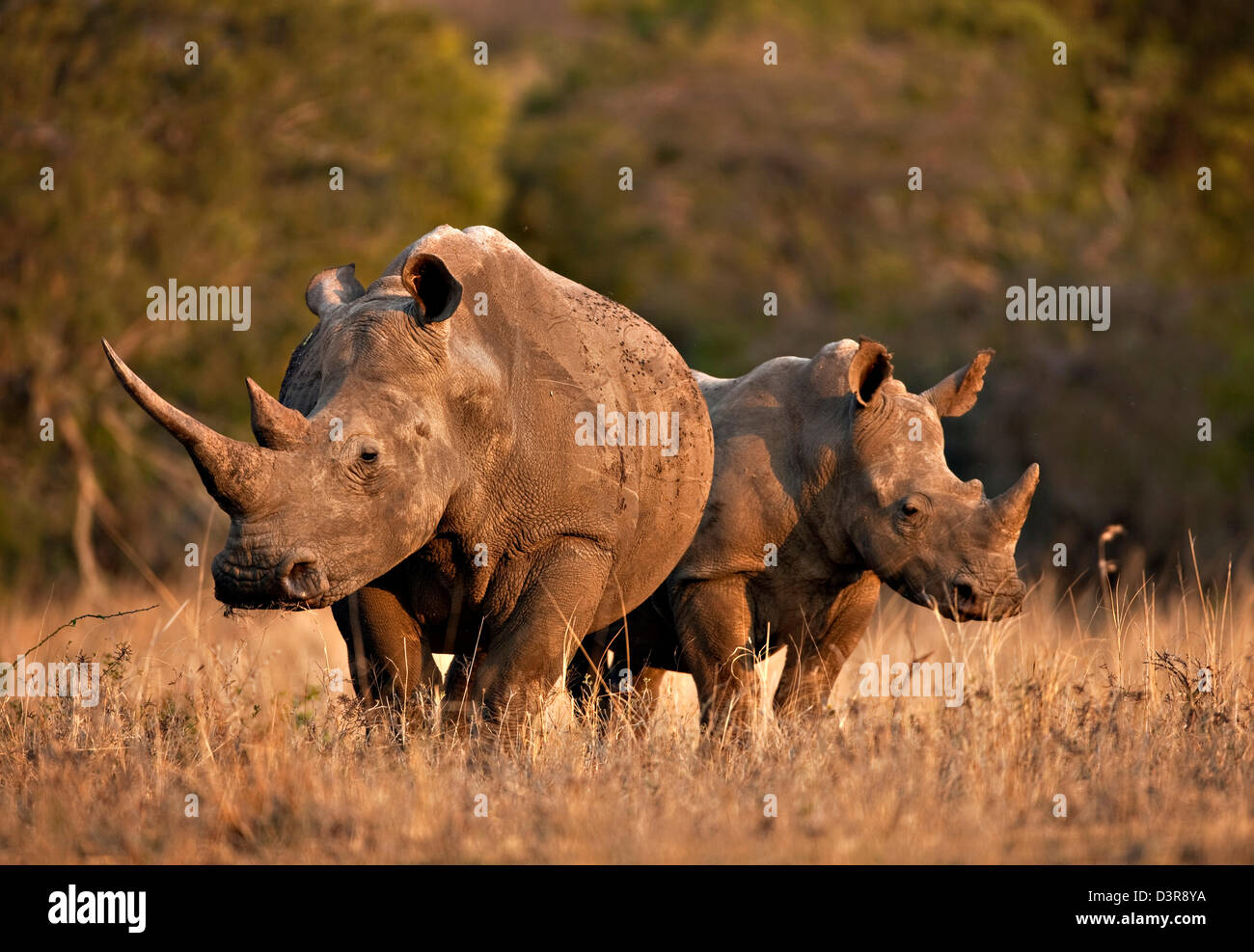 Two White Rhinos on grassland in Phinda Game Reserve, South Africa - Stock Image
