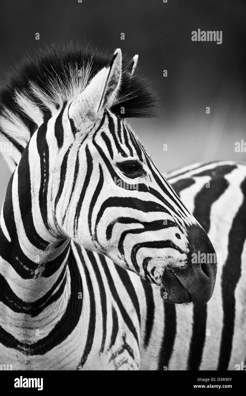 Plains zebra in Phinda Game Reserve, South Africa Stock Photo