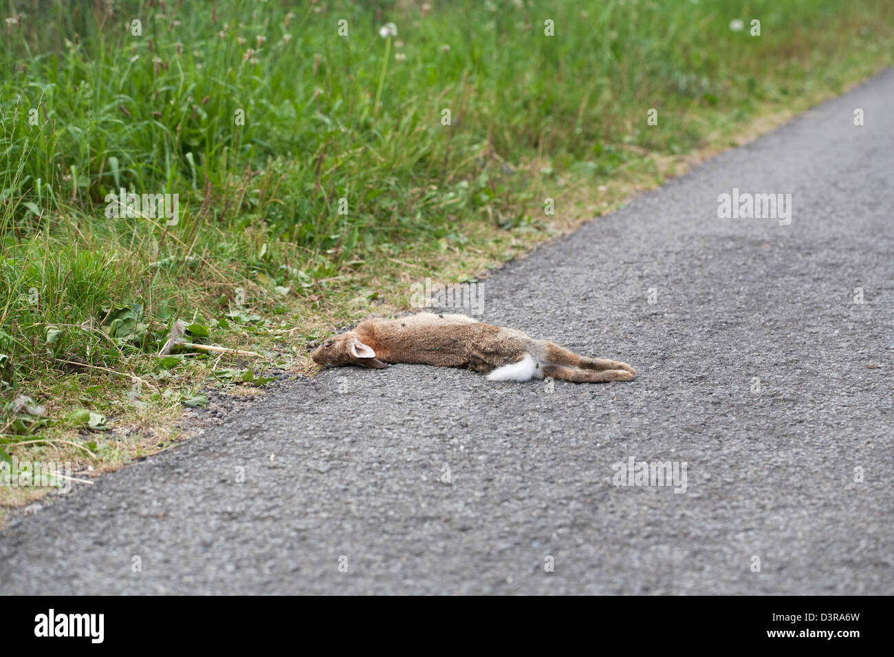 Rabbit killed in a car accident - Stock Image