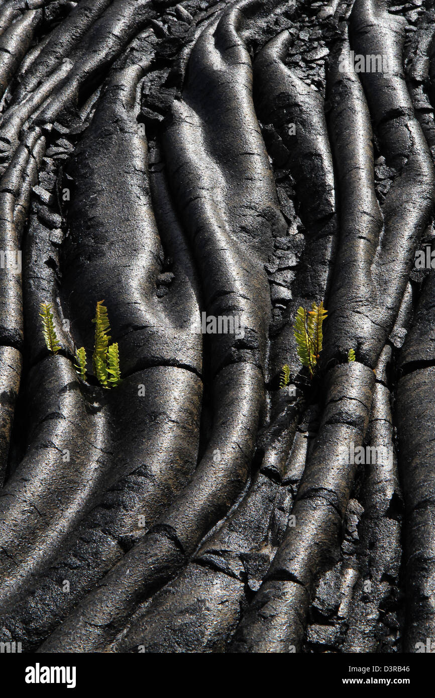 Kupukupu fern growing in Pahoehoe lava cracks Volcanoe National Park Hawaii Stock Photo