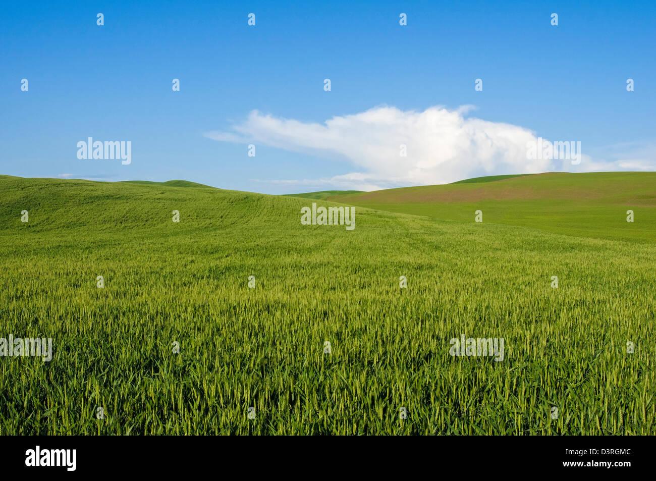 Field near Uniontown, Palouse wheat country, Washington. - Stock Image