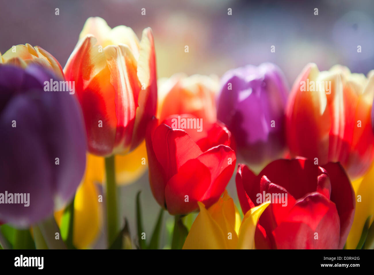 Backlit close-up of tulips in different colours; red, yellow, purple - Stock Image