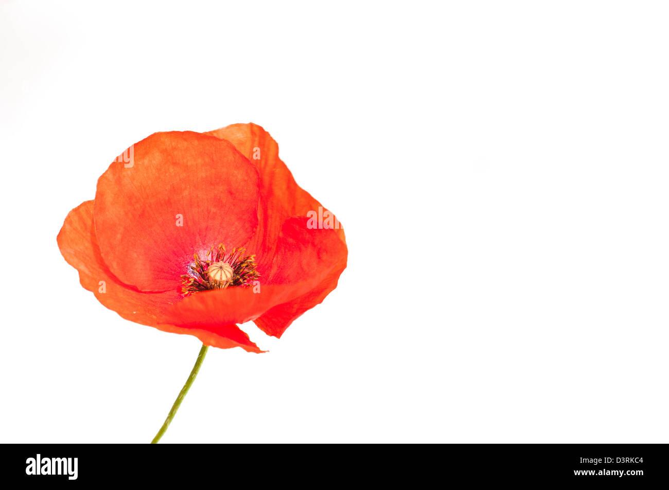 Wild Poppy - Stock Image