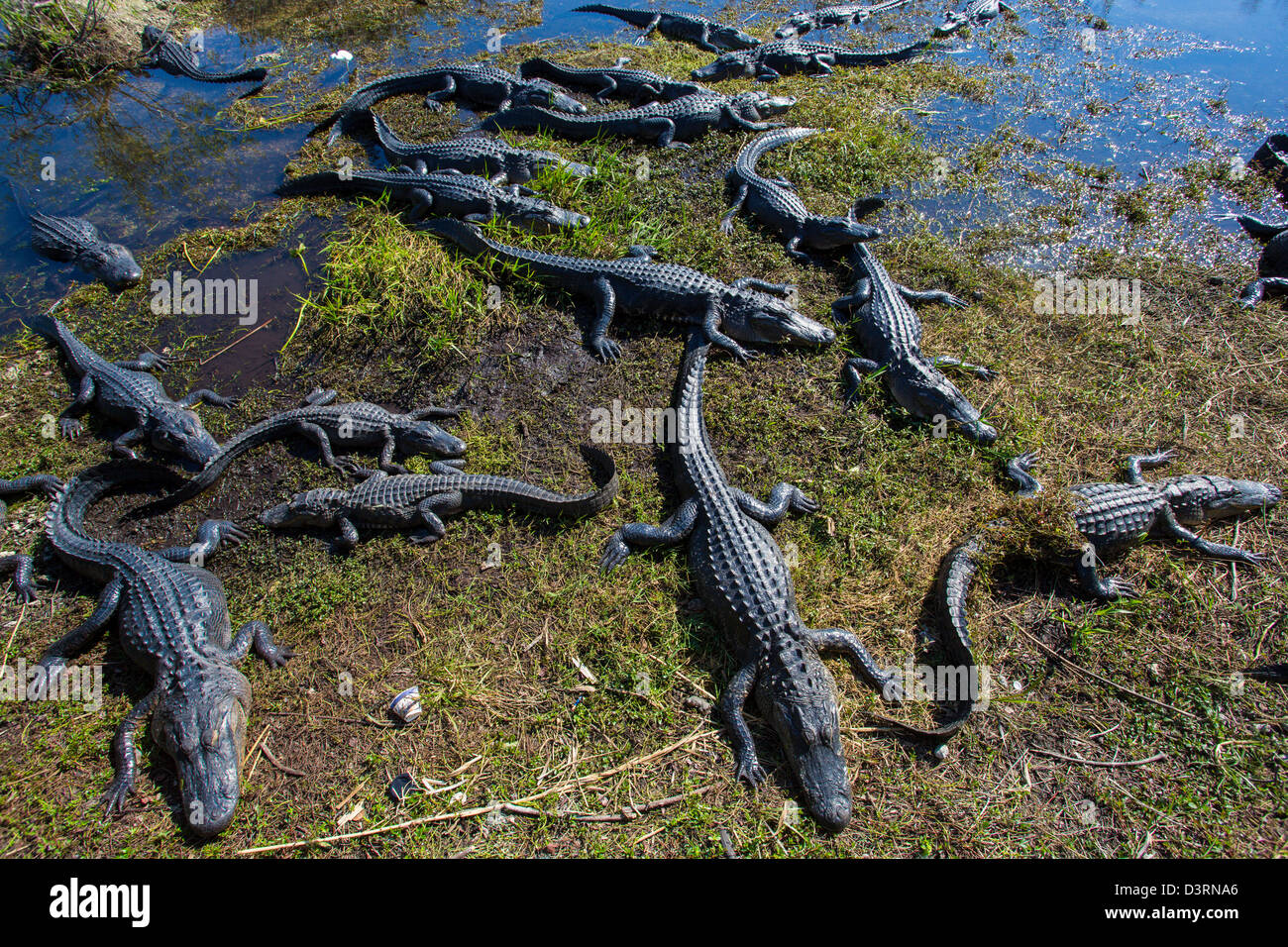 Alligators along the Anhinga Trail at the Royal Palm Visitor Center in Everglades National Park Florida - Stock Image