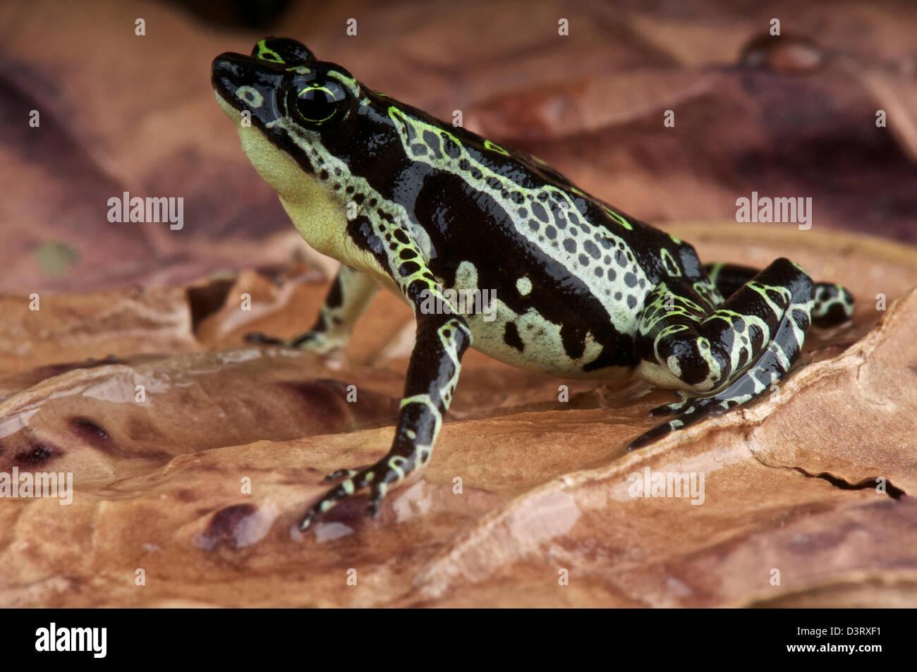Stubfood toad / Atelopus spumarius - Stock Image