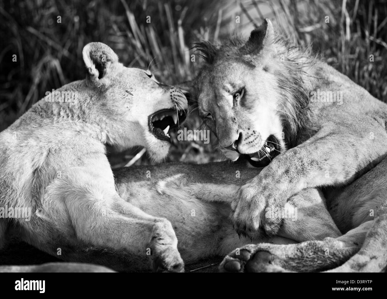 Male and female lions phinda game reserve south africa stock image