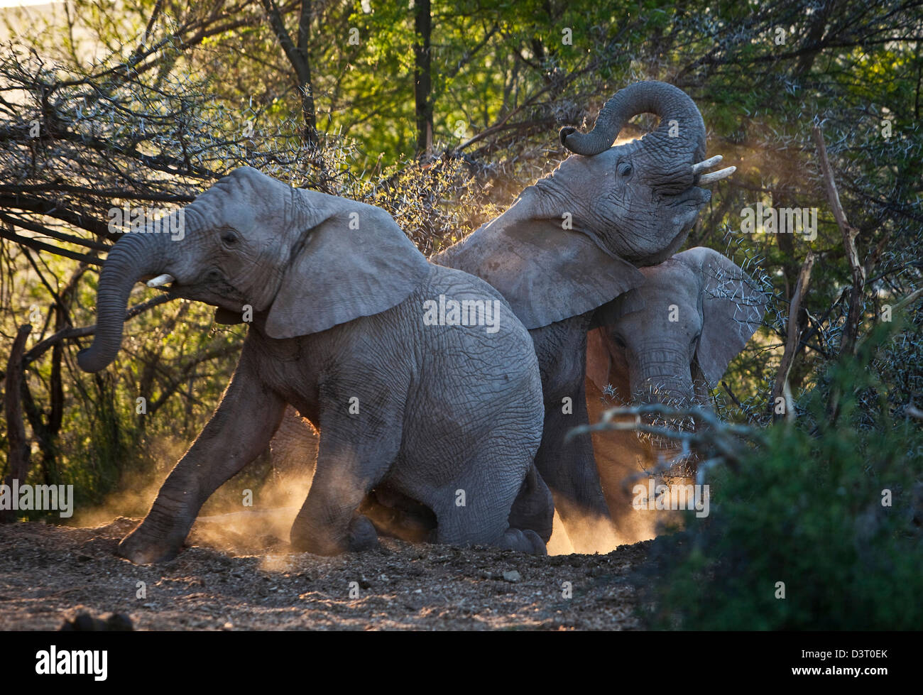Elephants cleaning in dust, Buffelsdrift Game Lodge, South Africa - Stock Image
