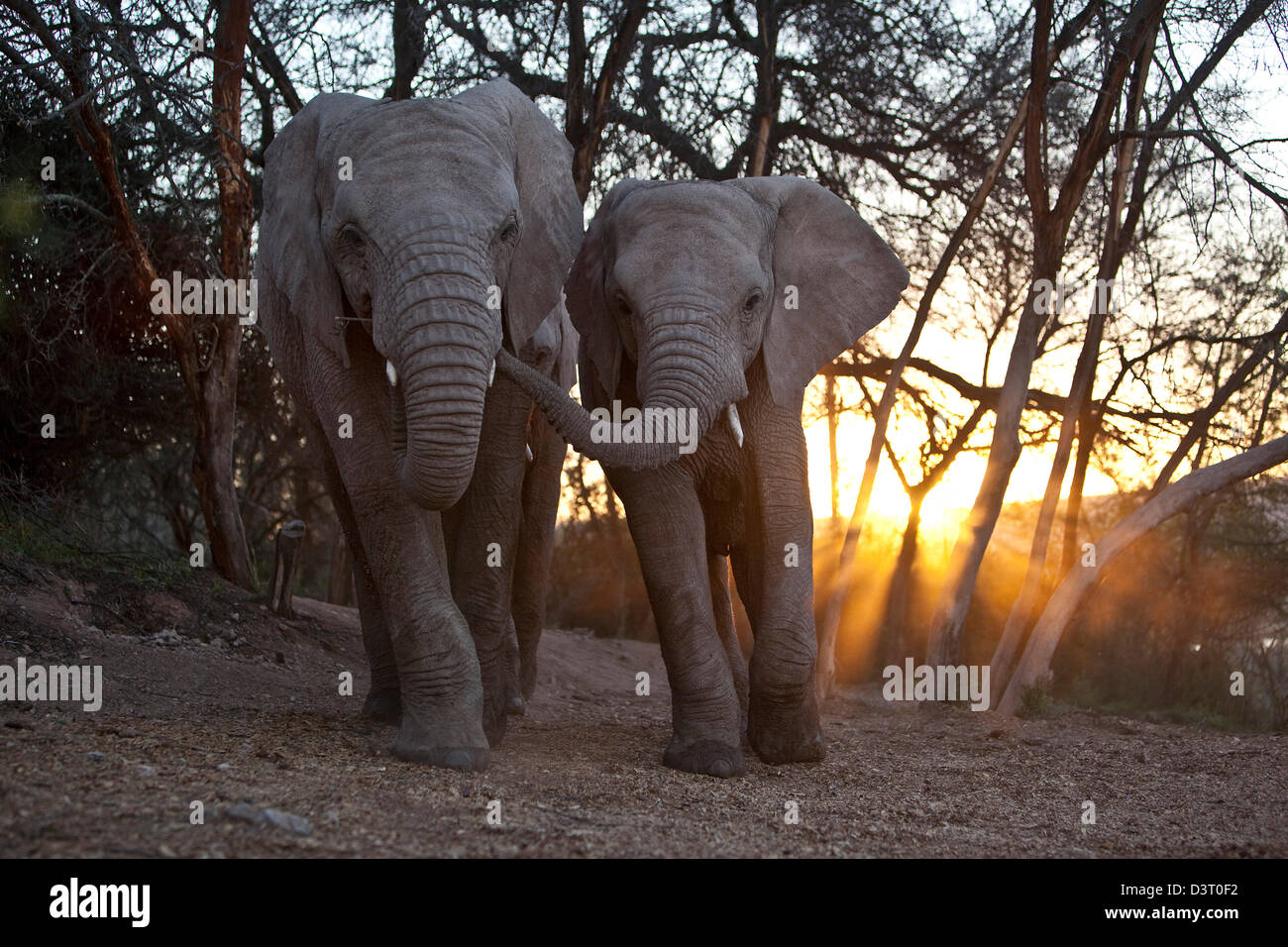 Elephant and young walking with trunks linked, Buffelsdrift Game Lodge, South Africa - Stock Image